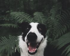 Jay, the 1 year old smooth coat border collie.  Jay loves hiking, swimming, agility and herding. He's earned trick dog titles, and is currently working towards his CGC (canine good citizen)
