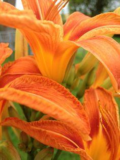 Beautiful Orange Day Lilly