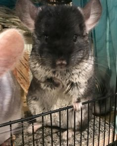 Can't get enough of their tummies!! #aww #cute #chinchilla #chinnies #chinchillasofpinterest #cuddle #fluffy #animals #pets #bestfriend #boopthesnoot #itssofluffy #rodents