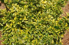 compact shrubs | April 25, 2010 | 7982 Views | 0 Comments