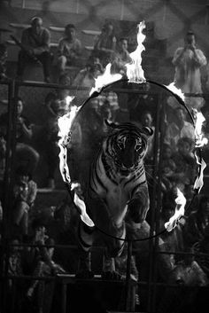 circus tiger-I am grateful the circus is mostly a thing of the past. Alvin Ailey, Royal Ballet, Circus Theme, The Circus, Vintage Circus Photos, Circus Aesthetic, Circus Tattoo, Halloween Circus, Circus Acts