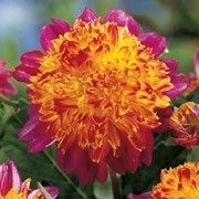 Dahlia 'Boogie Woogie'. Click image to add to your plants list in Shoot and to get care advice reminders.    Other names: Dahlia 'Boogie Woogie', Anemone-flowered dahlia 'Boogie Woogie', Powder-puff dahlia 'Boogie Woogie'    Genus: Dahlia    Variety or cultivar: 'Boogie Woogie' _ 'Boogie Woogie' is a clump-forming, tuberous perennial with divided, dark green foliage and magenta-pink flowers with red-tinged, yellow-orange centres in summer and autumn.