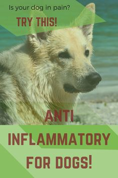 Best 25 Anti Inflammatory For Dogs Ideas On Pinterest