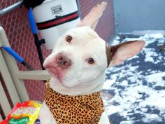 TO BE DESTROYED - 01/24/15 Manhattan Center   My name is BRUCE. My Animal ID # is A1025053. I am a male white and brown staffordshire mix. The shelter thinks I am about 4 YEARS old.  I came in the shelter as a STRAY on 01/08/2015 from NY 10457, owner surrender reason stated was STRAY.