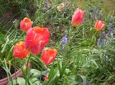 Pauline's Flowers - Tulips.