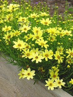 Coreopsis Creme Brulee, such a delicate pale yellow and fills in empty spaces perfectly