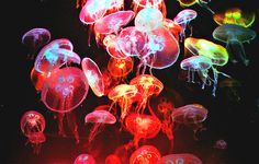 Rainbow jellyfishes