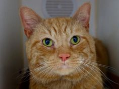 TANGO - A1056205 - - Manhattan  ***TO BE DESTOYED 11/04/15***TERRIFIC TANGO is an irresistible handsome orange striped cat: a mini tiger with big innocent eyes! This cutie was brought into the shelter as a stray and he was so friendly that the finder thinks TANGO must have been someone's pet. He is trusting of people, and head-butts anyone who will give him a pet in his small cage at the shelter. This sweetheart of a tabby is full of purrs and love!!! He would make an awe