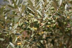 Olive tree by the outer wall of Óbidos, Portugal