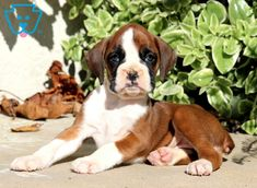 Look at this adorable Boxer pup! She is ready for anything life throws your way. This gal is a social butterfly ready to become the talk of your town. Boxers For Sale, Boxer Puppies For Sale, Beagle Puppy, Design Development, Cute Baby Animals, Cute Babies, Sassy, Dog Lovers, Pitbulls