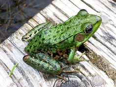 Northern Leopard Frog (Lithobates pipiens) - At least eight known species of leopard frog live in North America. The northern leopard frog is one of the most widespread and is the only leopard frog species found in Canada. Wye Marsh