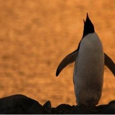 Gentoo Penguin (Pygoscelis papua) silhouetted at sunset, calling, Antarctica Penguin Images, Gentoo Penguin, Antarctica, Penguins, Sunrise, Silhouette, Animals, Ss, Amazon
