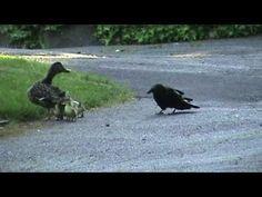 Mamá pata pelea con un cuervo para defender a sus crías