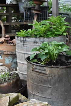 vintage garden decor DIY vintage garden tub planters using galvanized buckets. Learn how to plant in galvanized buckets Shade Tolerant Plants, Hosta Plants, Shade Perennials, Potted Plants, Cheap Plants, Easy Plants To Grow, Garden Tub, Shade Garden, Garden Plants