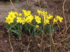 Ensimmäiset narsissit kukassa 27.4. Lämmin viikonloppu, 17-18 astetta.