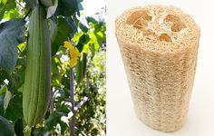 Vegetable Gardening Cheat Sheets How to Grow Your Own Loofah Sponge - Tips for Growing Luffa Gourd Plants Container Vegetables, Organic Vegetables, Growing Vegetables, Container Gardening, Growing Plants, Veggies, Organic Gardening, Gardening Tips, Vegetable Gardening