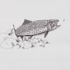 Brook Trout Sketches More