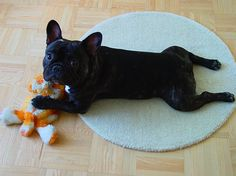 The natural laying position of French Bulldogs