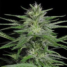 Thc level Up to 26 %   Indica / Sativa Indica 70% | Sativa 30%   Climate Indoor / Outdoor   Yield indoor Up to 500 gram / 17.6 ounces per sq meter   Yield outdoor Up to 600 gram / 21.2 ounces per sq meter   Height indoor Up to 70 cm / 27.6 inch   Height outdoor Up to 180 cm / 70.9 inch   Flowering time 8 To 9 weeks   Harvest month September / October   Grow difficulty Easy / Moderate    5 SEEDS