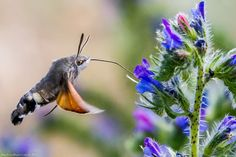 The Hummingbird Hawk-Moth So…which is it? A hummingbird, a hawk or a moth? LET'S TRY TO BE MORE BELIEVABLE WITH OUR NAMES HERE, PEOPLE. | 18 Animals Who Seem Fake But OK