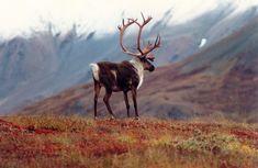 cariboumythos:  A magnificent bull caribou above Kusawa Lake - X