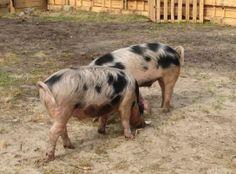 http://www.rijnmond.nl/nieuws/14-04-2013/blonde-arie-en-slome-japie-nieuwe-bewoners-katendrecht.  Het Bentheimer varken zou het enige overgebleven Oud-Hollandse landvarkenras zijn. Het wordt voor uitsterven behoed dankzij de inspanningen van 'hobbyboeren'.