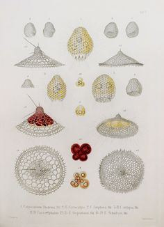 Ernst Haeckel  Radiolaria Protozoa Amoeba Marine by PaperPopinjay
