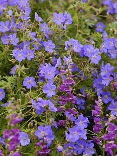 Geranium Johnsons Blue: Bright blue. Long flowering late spring to late summer.