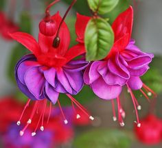 Fuchsia Flowers..how I wish they would grow for me!