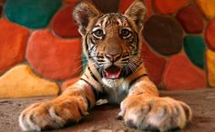 Cute Baby Tiger – Picture Of The Day