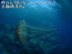 Brown jellyfish OOSEZAKI IZU Japan