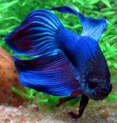 Kampfisk Blå longtail (Betta splendens ) 95 kr