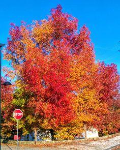 Boa tarde :D Uma árvore pintada com as cores da bandeira de Portugal. Imagem registada há alguns minutos atrás em Arcos de #Valdevez - http://ift.tt/1MZR1pw -