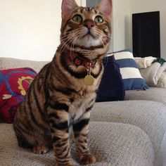 Pippa the Toyger Toyger Cat, Neko, Cute, Animals, Gatos, Animales, Animaux, Kawaii, Animal