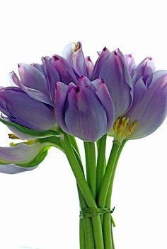Lavender Tulips #Spring #Beauty #Flowers ★ www.facebook.com/EssencetoSuccess