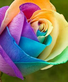 Rainbow roses!  these are definitely some of the most beautiful roses, too bad they aren't a natural occurence.