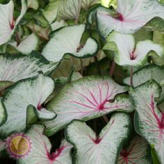 Happiness Farms Caladiums-White Wing