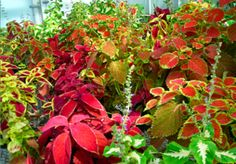How to Grow Coleus - Guide to Planting, Growing and Propagation
