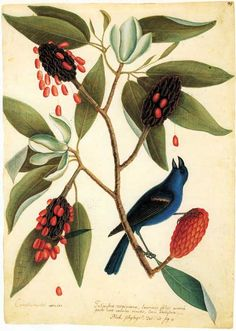 Blue Gross-beak and Sweet Flowering Bay. Mark Catesby,  Volume 2 of The Natural History of Carolina, Florida, 1743.