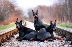 Doberman Pinscher family just haning out