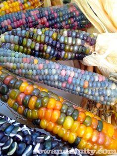 Glass Gem Corn - Sow & Dipity Heirloom Ornamental Corn Seed Beautiful.