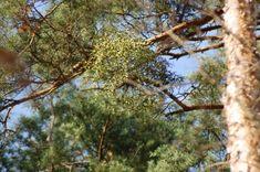Pine treetops with mistletoe bunch Music Files, Mistletoe, Pine, Photo Editing, Stock Photos, Fine Art, Plants, Pictures, Photography