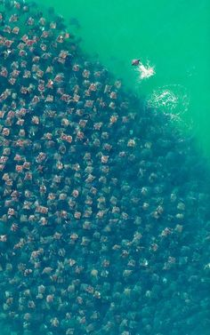 Amazing photography of thousands of Munkiana Devil Rays swimming in the ocean