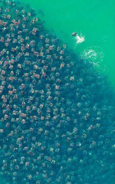Superbe photographie de milliers de raies Munkiana devil en pleine migration dans l'océan
