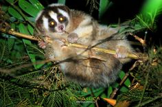 They have about 190 days gestation (more than 6 months!), and give birth to 16-60 g babies (consider the adults are 400-2000 g!). They do not wean their babies until about 6 months. The young loris grows at this point and becomes quite big, and the mum has to keep pushing the needy baby away! Lorises can be anywhere there are trees, really…so if you see a baby, leave it be. Its mum is just munching and she will be back for her treasure!