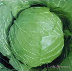 A herança 200 sementes de repolho redondo produtos vegetais verde grande sabor(China (Mainland))