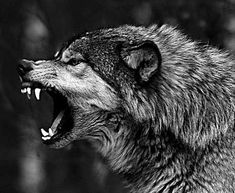 New Ideas For Tattoo Wolf Angry Werewolves Wolf Spirit, Spirit Animal, Beautiful Wolves, Animals Beautiful, Snarling Wolf, Animals And Pets, Cute Animals, Angry Wolf, Wolf Tattoo Design