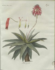Aloe picta (hand-coloured botanical engraving courtesy kulturerbe niedersachsen)