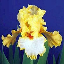 Champagne Waltz Tall Bearded Iris