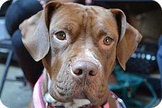 Special Dog Seeks Special Home: Shala the Bulldog/Amstaff mix   Sidewalk Dog Blog